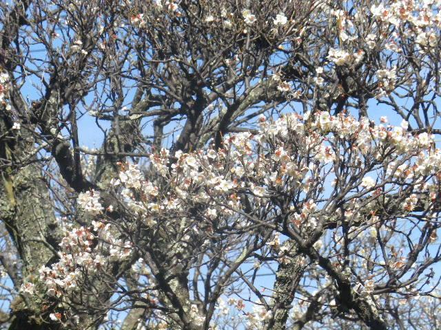 04-2) 毎年同じ規模の枝振りになるよう選定されているらしき梅の木。