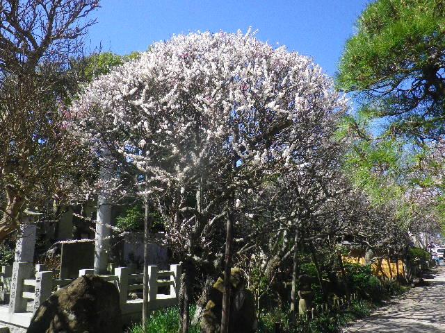 04-1) 一本の木に、白と桃色の花が咲く梅の木。