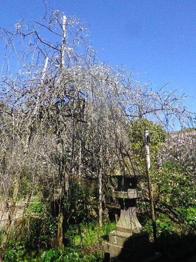 05-1) 本堂前の枝垂れ梅