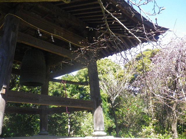 07-1) 鐘楼周辺の枝垂れ梅