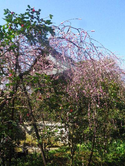 10) 境内順路で見られる枝垂れ梅の内の一つ