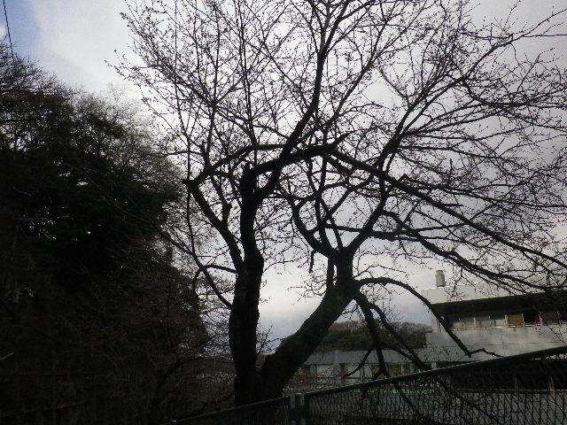 01-1) 15.03.24 「鎌倉市立第一中学校」外周、役立たず写真の桜情報。