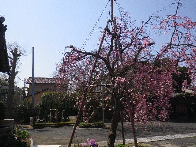 03)  15.03.30 鎌倉「本興寺」の枝垂れ桜