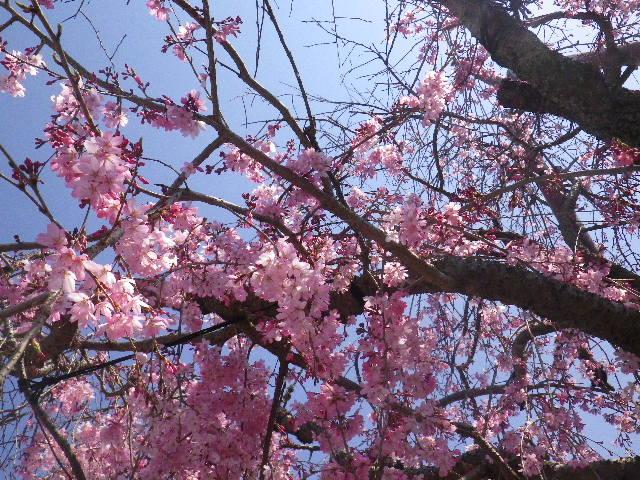 04)  15.03.30 鎌倉「本興寺」の枝垂れ桜