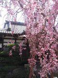 02)  15.03.30 鎌倉「本興寺」の枝垂れ桜