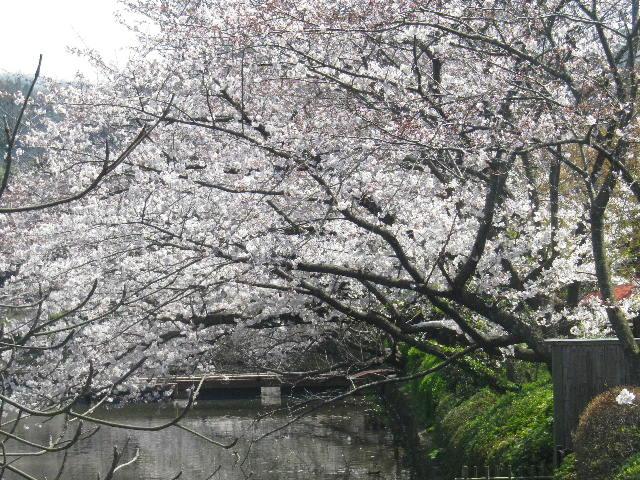 01-2)  15.03.30 鎌倉「鶴岡八幡宮」の桜