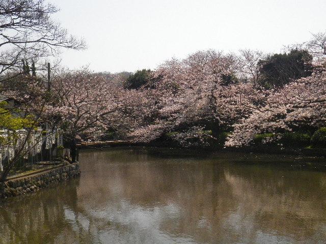 02)  15.03.30 鎌倉「鶴岡八幡宮」の桜