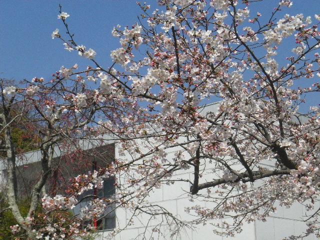 06)  15.03.30 鎌倉「鶴岡八幡宮」の桜