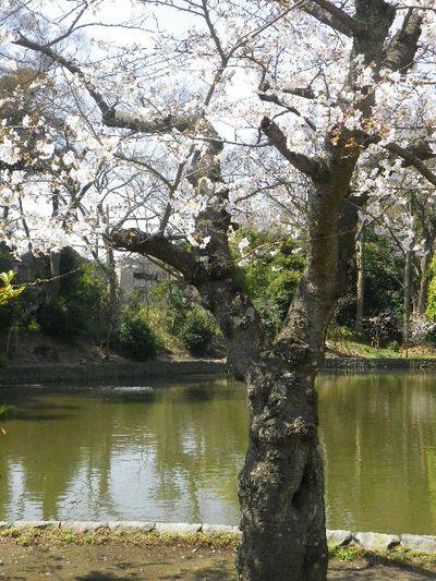 07-1)  15.03.30 鎌倉「鶴岡八幡宮」の桜