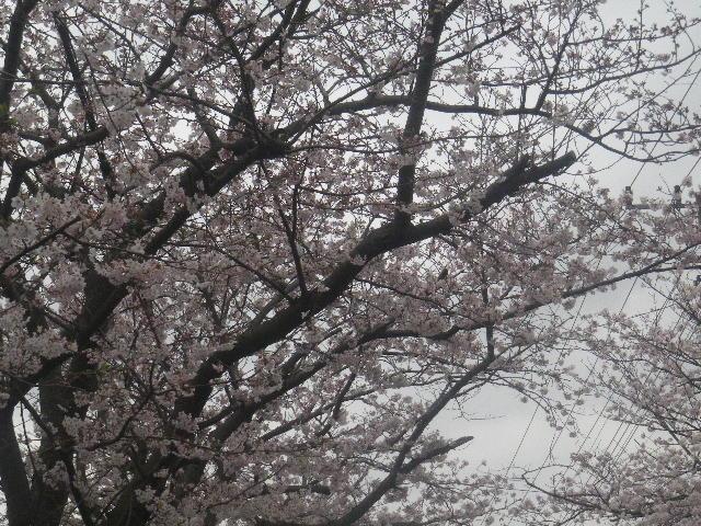 01-2) 15.04.01 逗子ハイランドの桜