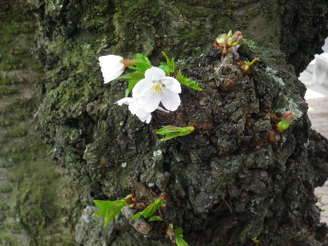 05-2) 15.04.01 逗子ハイランドの桜