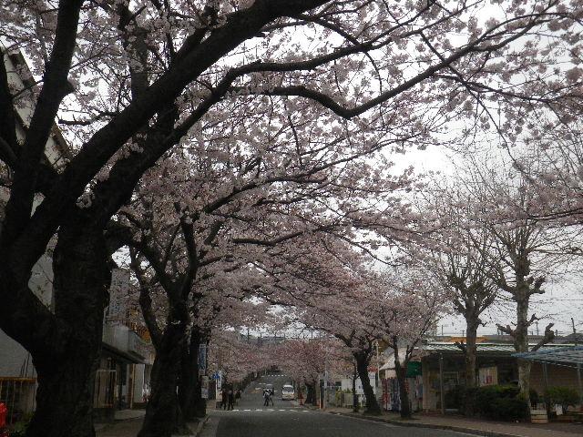 06) 15.04.01 逗子ハイランドの桜