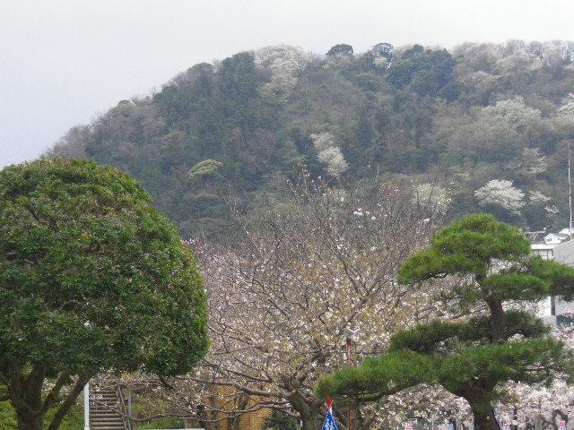 02-1) 葉山町役場から見た、奥の山桜。