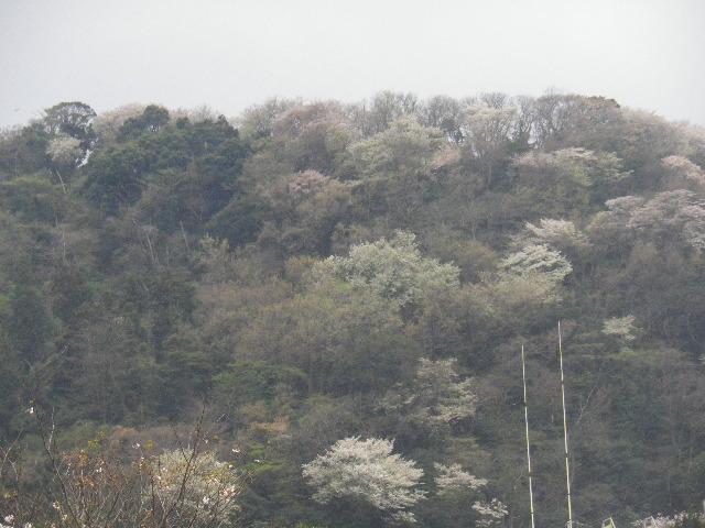 02-2) 山桜