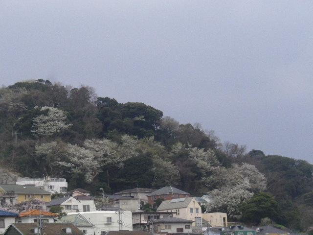 04-2) 山桜