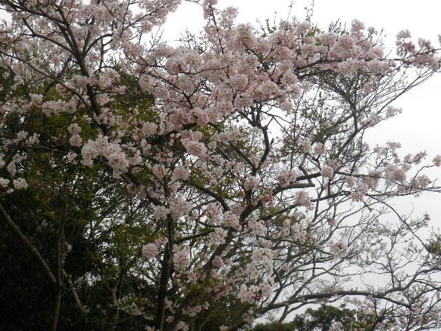 03-2) 15.04.01 「逗子市立 披露山公園」の桜