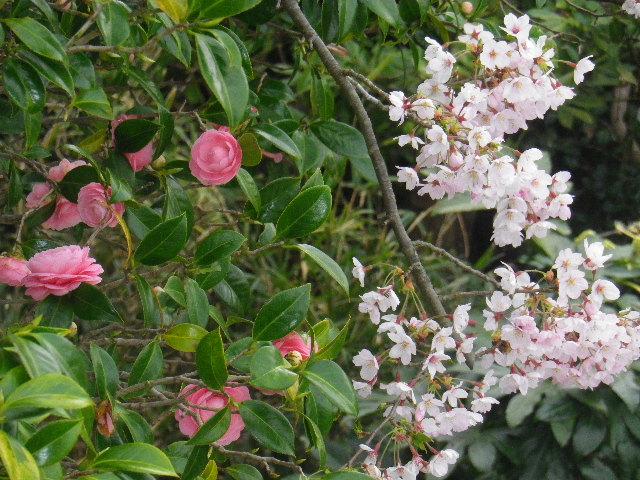 07-2) 15.04.01 「逗子市立 披露山公園」の桜