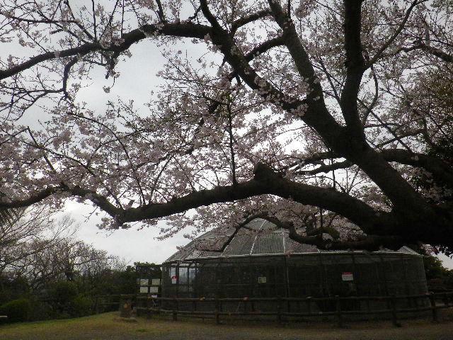 09) 15.04.01 「逗子市立 披露山公園」の桜