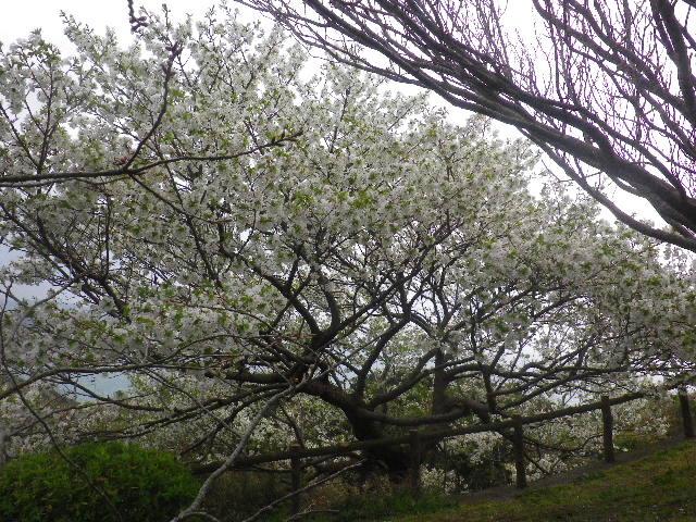 17-1) 15.04.01 「逗子市立 披露山公園」の桜