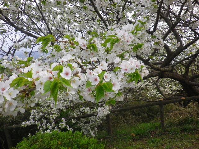 17-2) 15.04.01 「逗子市立 披露山公園」の桜