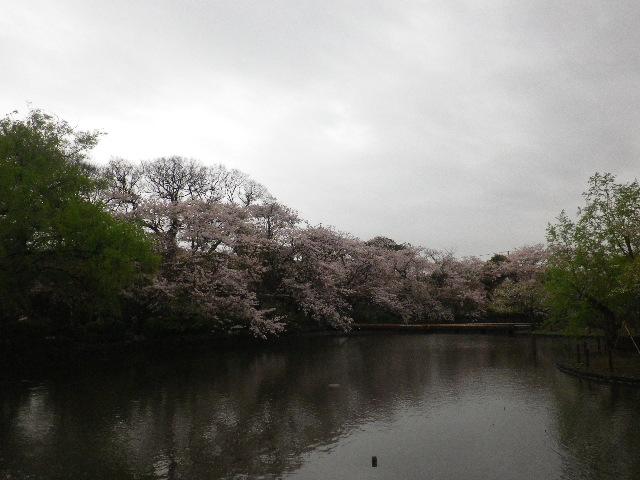 06) 15.04.04雨 鎌倉「鶴岡八幡宮」雨の観桜