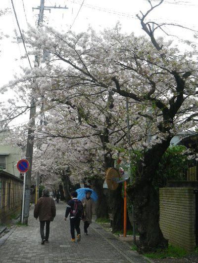 01) 15.04.04雨 清泉小学校周辺道路の桜 _ 鎌倉市雪ノ下