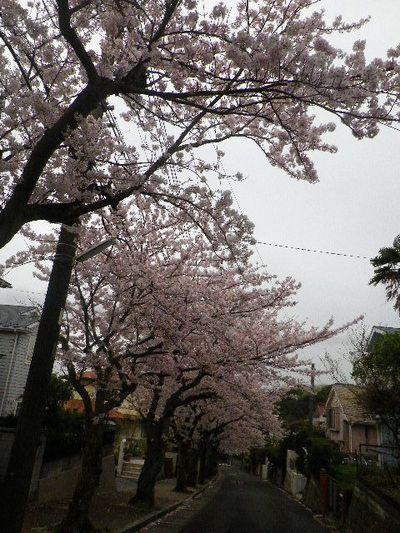 01-1) 15.04.04曇天  風雨に耐えている「鎌倉逗子ハイランド」の桜