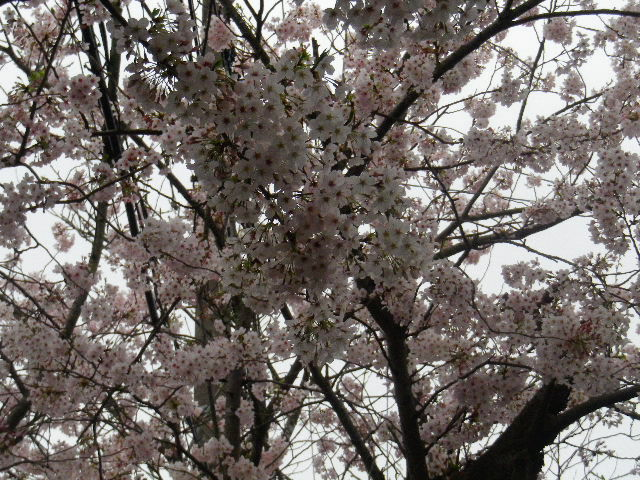 01-2) 15.04.04曇天  風雨に耐えている「鎌倉逗子ハイランド」の桜