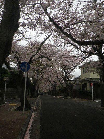02) 15.04.04曇天  風雨に耐えている「鎌倉逗子ハイランド」の桜
