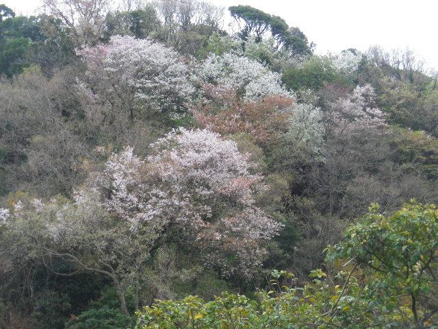02) 在日米軍接収地_逗子市久木地域 の山桜