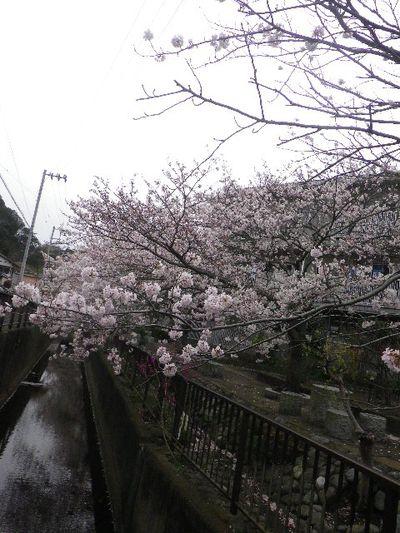 04-1) 逗子市立久木中学校周辺住宅街の桜