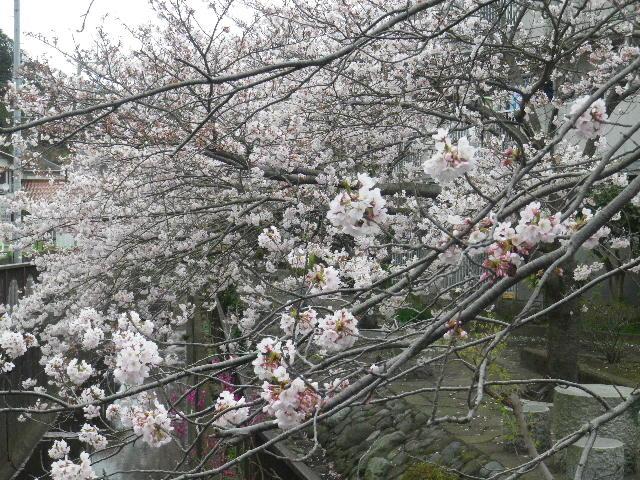 04-2) 逗子市立久木中学校周辺住宅街の桜