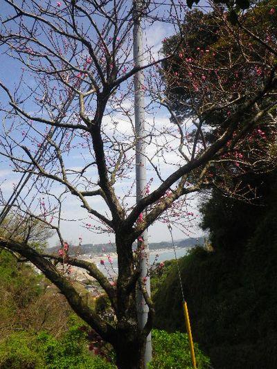 03-1) 15.04.06 鎌倉「成就院」桜咲く時期の終焉を見届ける