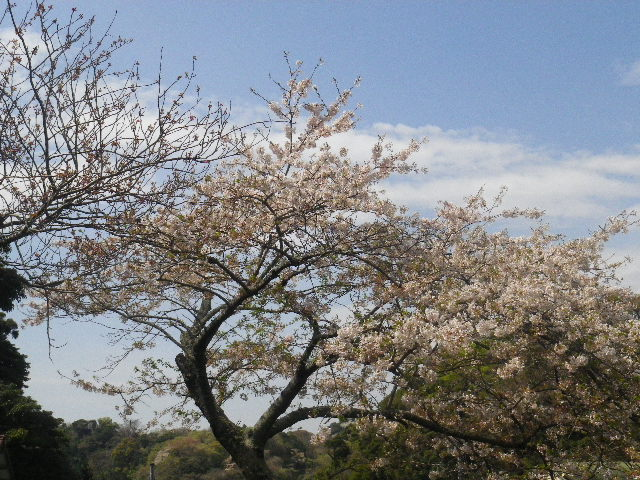 04-1) 15.04.06 鎌倉「成就院」桜咲く時期の終焉を見届ける