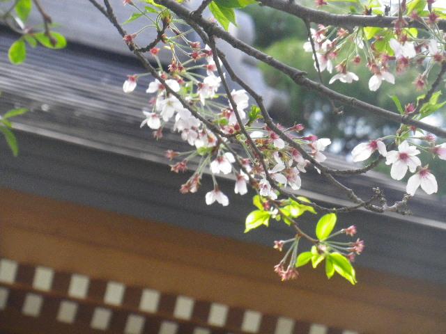 05-2) 15.04.06 鎌倉「成就院」桜咲く時期の終焉を見届ける