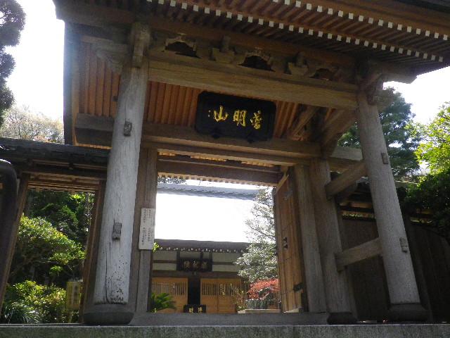 05-3) 15.04.06 鎌倉「成就院」桜咲く時期の終焉を見届ける
