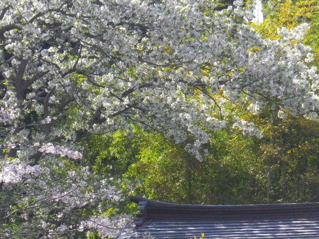 01-3) 15.04.06 桜咲く頃、鎌倉「長谷寺」を外部から眺めた。