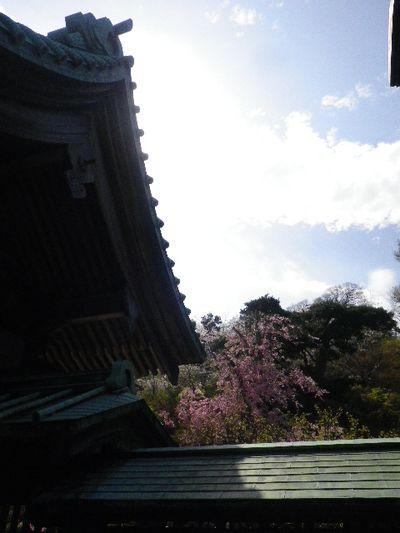 04-2) 15.04.06 桜咲く頃、鎌倉「長谷寺」を外部から眺めた。