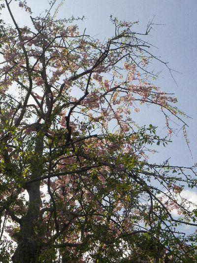 08-1)  15.04.06 桜咲く頃、鎌倉「長谷寺」を外部から眺めた。