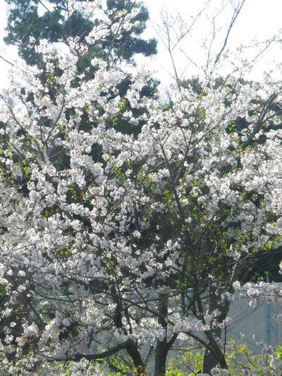 10)  15.04.06 桜咲く頃、鎌倉「長谷寺」を外部から眺めた。