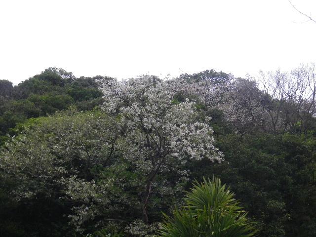 01-1) 自宅周辺の山桜