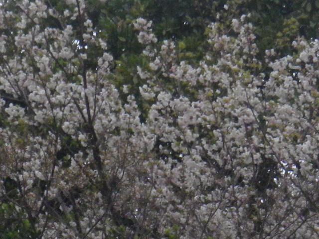 01-1-b) 自宅周辺の山桜
