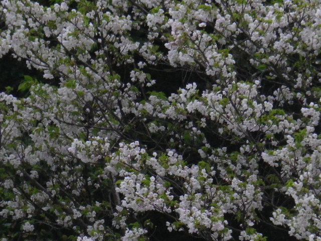 01-2-b) 自宅周辺の山桜