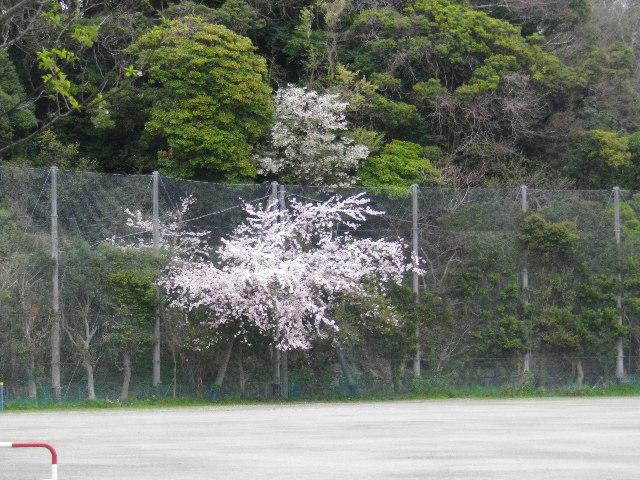 04-1-a) 鎌倉市立第一中学校グラウンドの金網の網目を突き抜けた枝の桜
