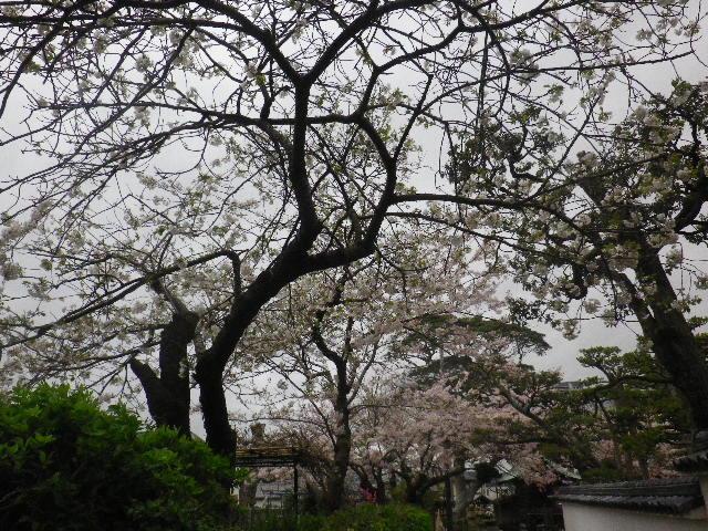 11-1) 私立材木座幼稚園の桜