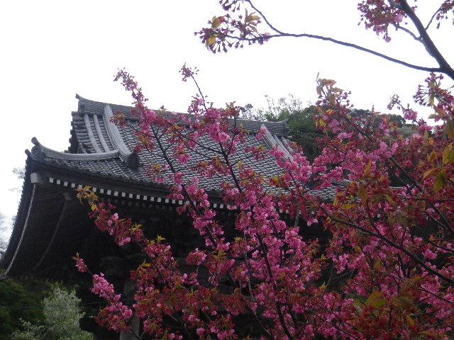 12-4-b) 光明寺の桜