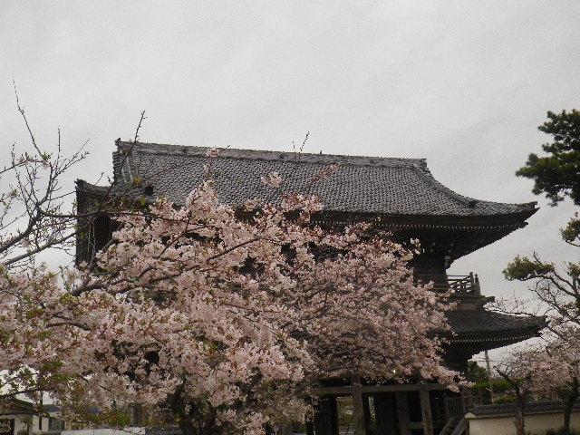 12-5) 光明寺の桜