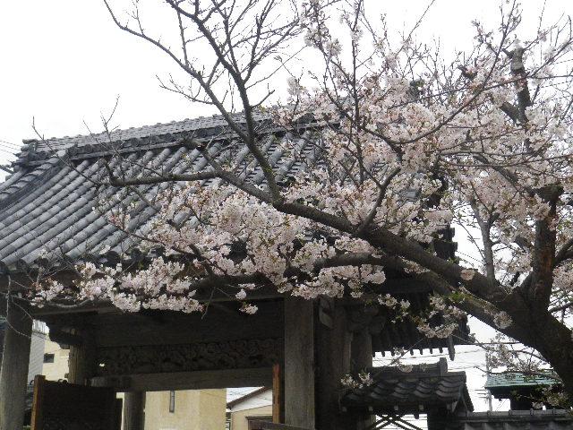 12-6) 光明寺の桜