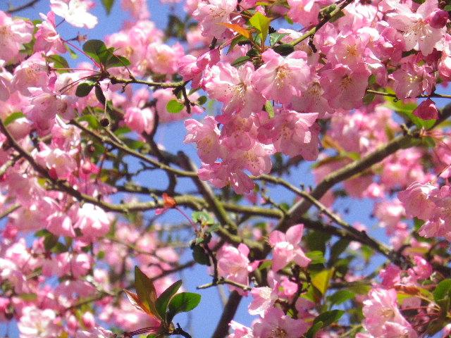 04-2) 15.04.09 鎌倉市「妙本寺」海棠が咲く頃