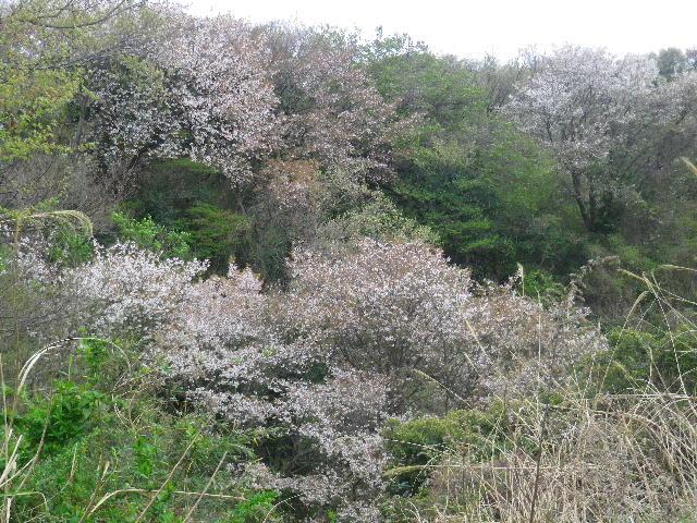 05) 山桜_ 未舗装の上り道から、「鎌倉逗子ハイランド」外周路へ出る。 _ 10:20am頃~